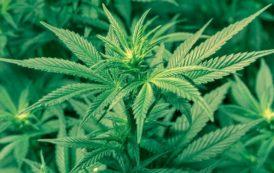 Sessa Aurunca: in cinque coltivavano 300 metri quadrati di marijuana