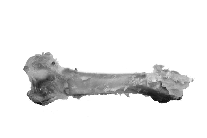 Il femore fossilizzato ARX5454, meglio noto come femore di Casale