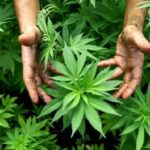 Teano – Sequestrata coltivazione di cannabis e altro